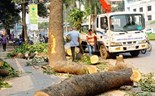 People see red as Hanoi starts cutting down 6,700 trees