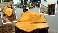 Hanoi mayor halts massive tree-cutting project