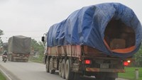 8 Laos trucks caught with suspected smuggled timber in Vietnam