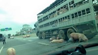 Pigs roam free on Hanoi highway