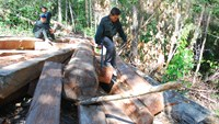 Forest rangers check illegally logged timber in Nam Sa Thay Forest in the Central Highlands province of Kon Tum. Photo: Thai Ba Dung/Tuoi Tre