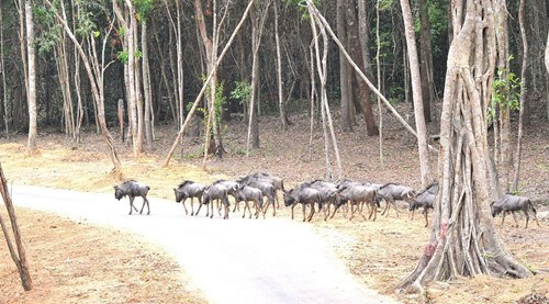 The wildebeest in Vinpearl Safari Phu Quoc. Photo: N.H