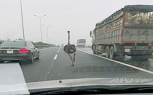 Ostrich runs loose on Vietnam highway: report