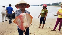 Locals catch batoids that were found dead and drifted ashore in Quang Tri Province. Photo: Nguyen Phuc/Thanh Nien