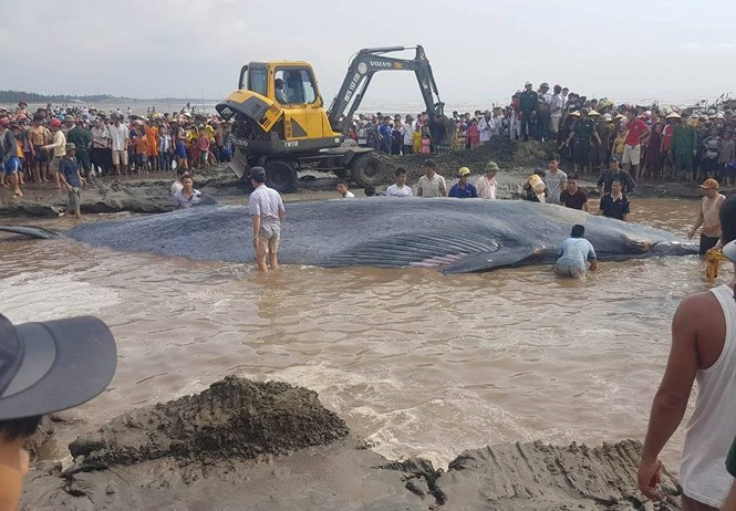 Local residents join a rescue of a 12-meter long whale stranded at a beach in Nghe An Province's Dien Thinh Commune in early morning on May 25, 2016. Photo: Pham Duc/Thanh Nien