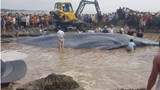 A whale estimated to weigh 15 tons is stranded at a beach in Nghe An Province's Dien Thinh Commune on May 25, 2016. Photo: Pham Duc/Thanh Nien