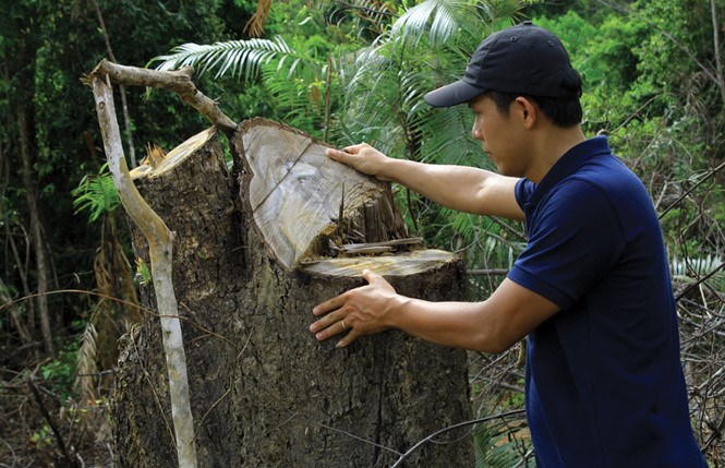 A tree has been chopped down in a protection forest in Phu Gia Commune. Ha Tinh Province. Photo: Nguyen Duc
