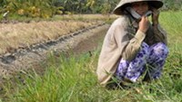 Drought salanizes Vietnam rice basket