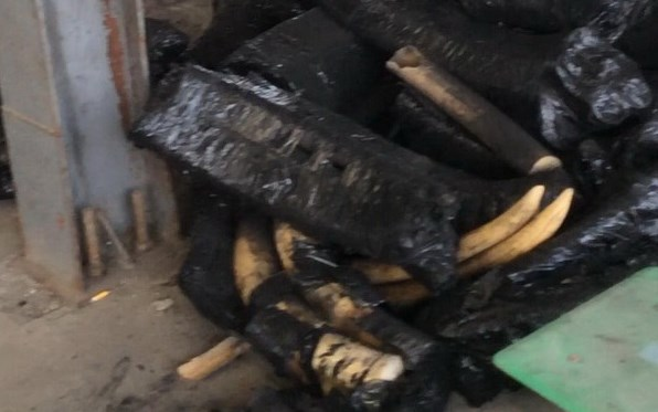 Parts of elephant tusks hidden in charcoal bags at Hai Phong Port. Photo credit: Hai Phong Customs