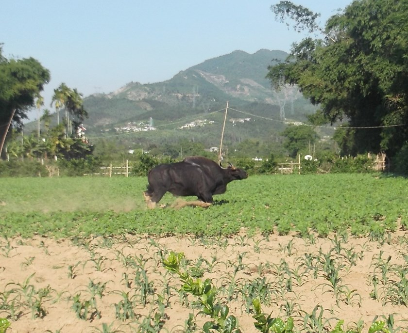 A photo provided by a local captures a gaur in Dai Loc District, Quang Nam Province in the morning of May 26. It is found dead in the afternoon the same day.