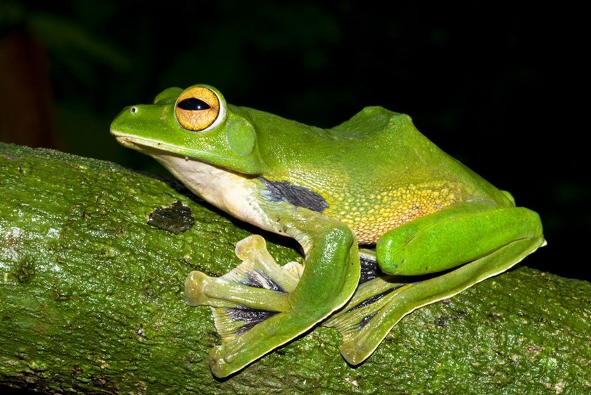 Helen's Flying Frog (Rhacophorus helenae) that was discovered outside Ho Chi Minh City. Photo credit: Australian Museum