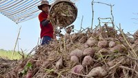 A farmer harvests sweet potatoes in the Mekong Delta's Vinh Long Province. Photo credit: Tuo