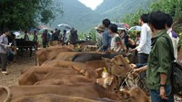 Poor locals in the northern highlands province of Cao Bang receive cows under a poverty alleviation program coded 30A. Photo credit: Cao Bang Newspaper