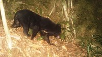 A member of the protected Asian black bear species is spotted by WWF camera trap June 2014. Photo credit: WWF