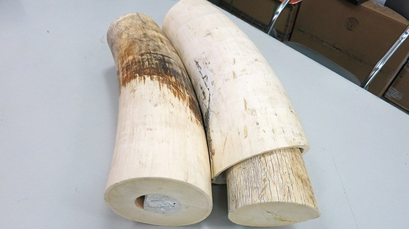 A photo supplied by Ho Chi Minh City Customs shows two of the three elephant tusks they seized from a shipment from France on August 1, 2014