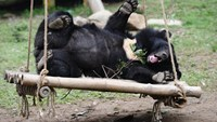 A bear relaxes at Tam Dao Bear Rescue Center, which is run by Animals Asia in northern Vietnam to save the animals from the bile trade. Forest rangers in Dong Nai Province are helping the trade in their area. Photo: Hoang Dinh Nam/AFP