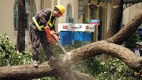 Ho Chi Minh City lumberjacks aim saws at stunning downtown allée