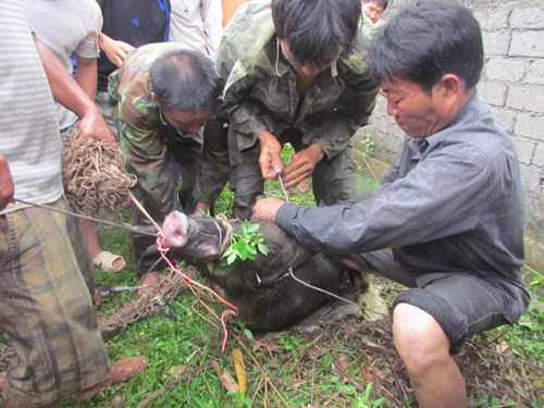 People in the central province of Nghe An tie up a feral pig that attacked a group of locals on August 3, 2013. Photo: Minh Thu