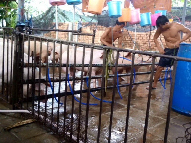 Workers drive pipes into pigs' mouths in Dong Nai Province to pump water into their belly and give them extra weight before slaughtered. Photo: Trung Hieu