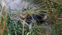 A wild gaur that showed up in Binh Thuan Province on October 20, 2014 according to photo provided by the province forest management officials.