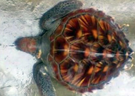 A turtle that was returned to sea on October 26, 2014 after a Ha Tinh man rescued it from a sewer. Photo credit: Dan Tri
