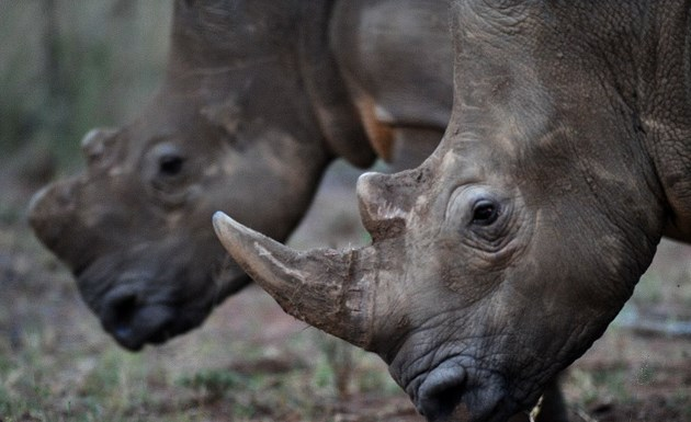 Two white rhinos grazing. Photo: AFP