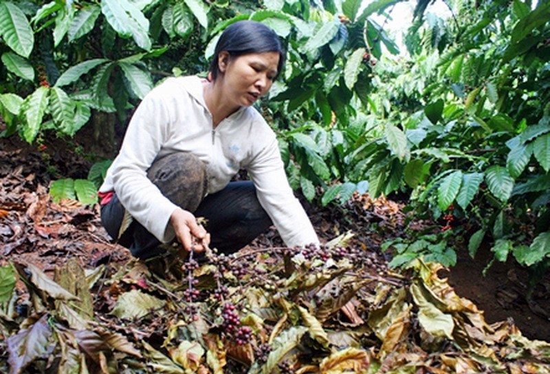 Pham Thi Lan in Kon Tum Province checks her coffee field that has been picked clean by thieves. Photo: Hoai Tien