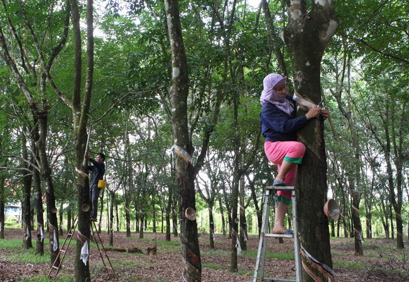 Workers collect latex from a rubber plantation managed by the Vietnam Rubber Group. Photo credit: Vietnam News Agency