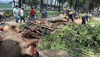 Hunks of mahogany trees felled on Ton Duc Thang Street on November 12, 2014. Photo credit: Thoi Bao Kinh Te Saigon