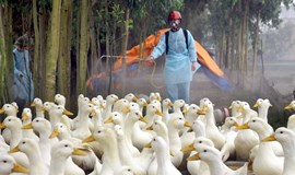Vietnam province culls 4,000 ducks in bird flu outbreak