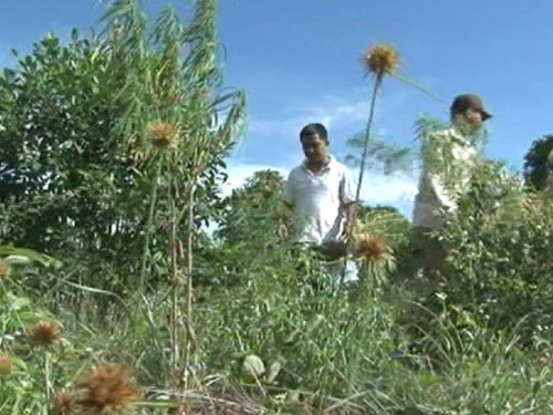 Police discovered a marijuana crop growing on Phu Quoc Island in May 2014. Photo: Giang Son