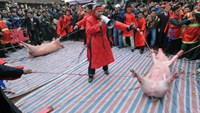 Two pigs are tied and ready to be killed during the pig slaughter festival in Bac Ninh Province. Photo credit: VnExpress