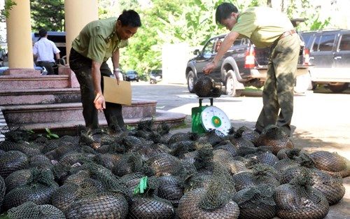 Bac Ninh officials check pangolins seized from poachers. Photo credit: Voice of Vietnam