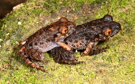 Two Orange-eyed litter toads spotted in southern Vietnam forest. Photo: Eduard A. Galoyan/Australian Museum