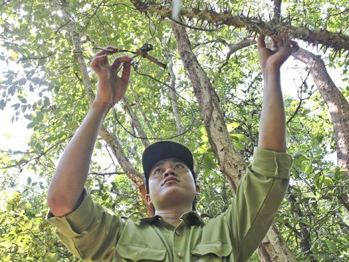 A ranger removes a trap at Lo Go-Xa Mat National Park in Tay Ninh Province near Cambodia's border. Photo: Giang Phuong