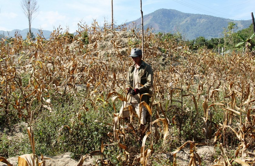 A farmer stands amid his dying corn field due to a severe drought in Khanh Hoa Province. Photo: Nguyen Chung