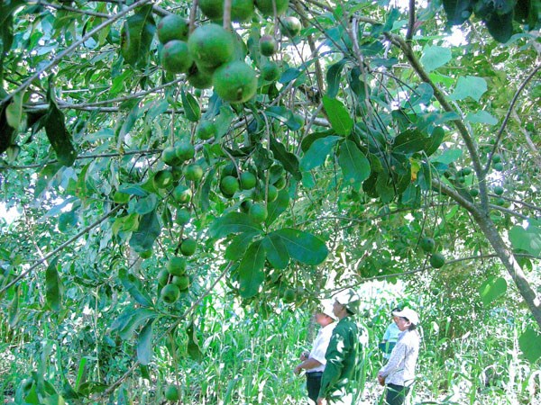 At a macadamia garden in Vietnam. Photo: Huong Giang