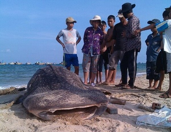 The whale shark of around six meters long hit the shore in Mui Ne on May 11, 2015. Photo: Le Huan