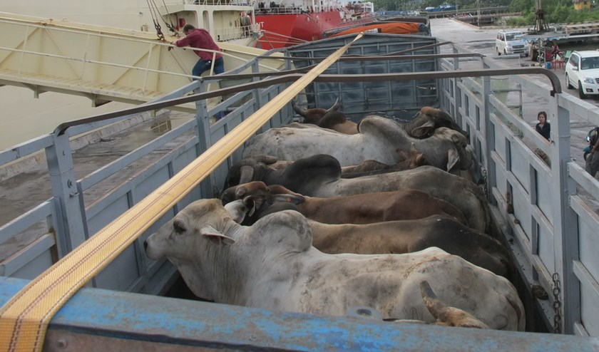 Australian cows imported to Vietnam. Photo: Quang Thuan