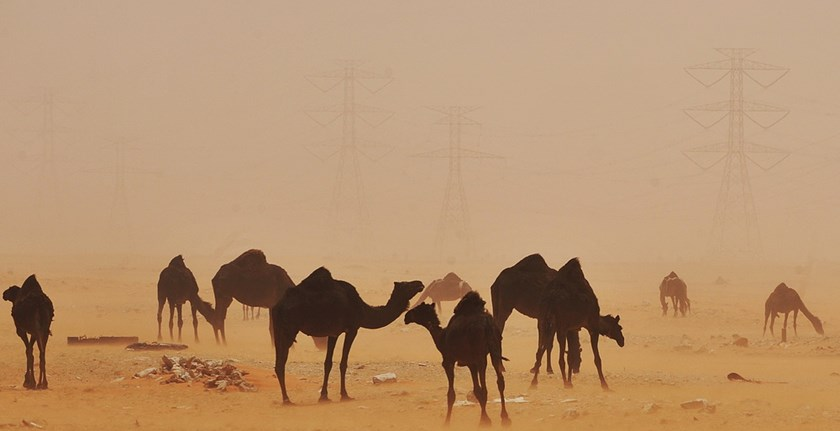 A study concluded that Saudi Arabian camels has been carrying MERS-CoV. Photo credit: AFP/Getty Images