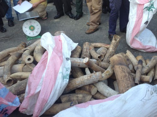 The elephant tusks found in a shipment disguised as wood in Da Nang on August 21, 2015. Photo: Nguyen Tu