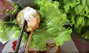 """A screen shot from Mark Wiens' video of him trying """"banh khot"""" in Ho Chi Minh City, when he puts the piece of crispy pancake on top of raw leaves before rolling it up and dunk in fish sauce. On top the cake is coconut milk."""