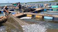 A farmer in the southern town of Vung Tau shows a lot of dead fish in his farm. Photo: Nguyen Long