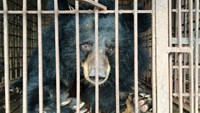 One of the bears moved from farms in northern Vietnam to a rescue center in the region on September 22, 2015. Photo credit: Animals Asia