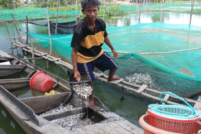 This farmer in the Mekong Delta's Long An Province used to catch little fish from the Mekong's autumnal flood for his fish farm, but there's no flood this year and he has to buy the feed. Photo: Son Lam/Tuoi Tre
