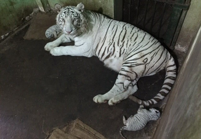 A female white tiger and its cubs at the Saigon Zoo. Photo: P.V.Lam/Tuoi Tre
