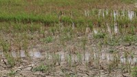 A rice field dries up in the Mekong Delta during this year's intense drought. Photo: Huy Hoang/Vietnam News Agency
