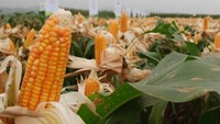 Farmers said GMO corn gives them higher yields. Photo courtesy of the Ministry of Agriculture and Rural Development