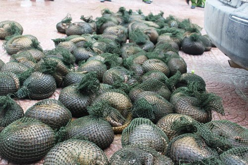Pangolins rescued from traffickers in central Vietnam. Photo: Truong Hoa