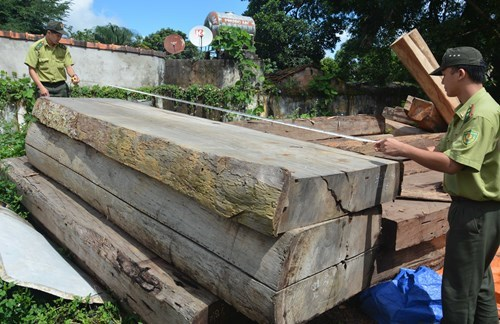 Forest rangers check illegal wood seized in central Vietnam. Photo: Tran Hieu/Thanh Nien